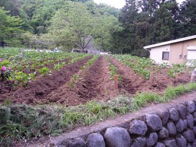 ジャガイモ畑.jpg