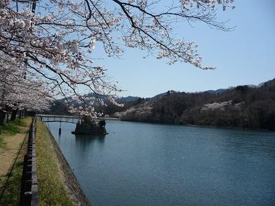 大野貯水池の桜.jpg