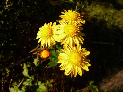 黄色菊.jpg
