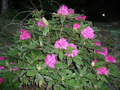 西洋石楠花.jpg